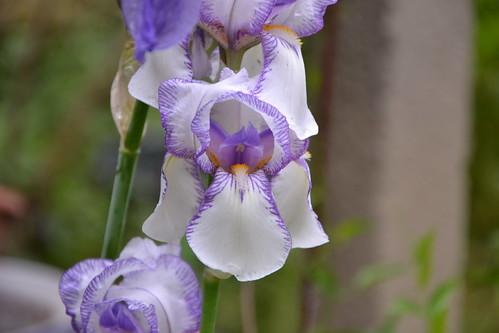 Iris swertii ou 'Swerti' - coll. 1612 8754840884_72d1accf01