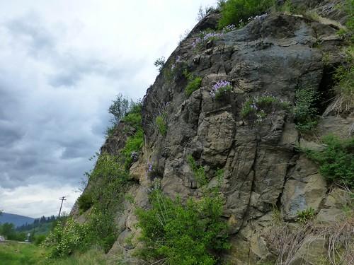 flowers wild canada spring bc wildflowers penstemon blooming castlegar bcwildflowers p1050539