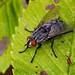 Insectes - Diptères