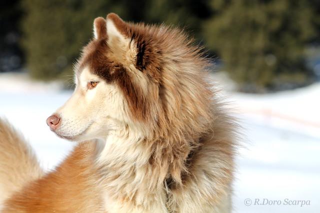 sled dog  -  gaver 2013 - cane da slitta