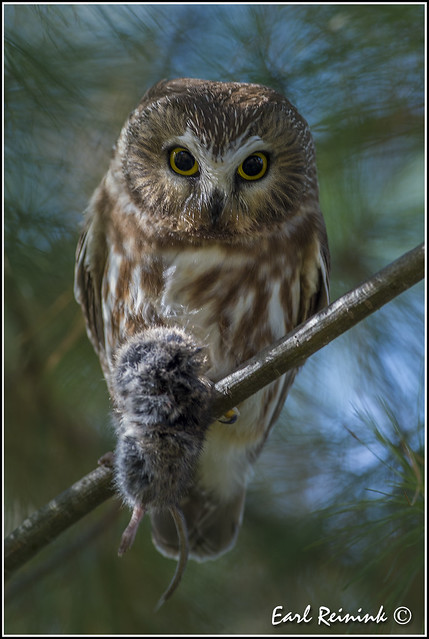 Saw-whet Owl with vole