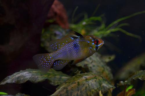 German Blue Ram (Mikrogeophagus ramirezi) | by Adam Balzer