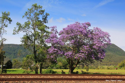 plant flower tree outdoor australia nsw jacaranda railwayline bignoniaceae jacarandamimosifolia midnorthcoast mtgeorge manningvalley northcoastrailwayline purplefp uppermanningvalley nowendocrd manningvalleylandscapes