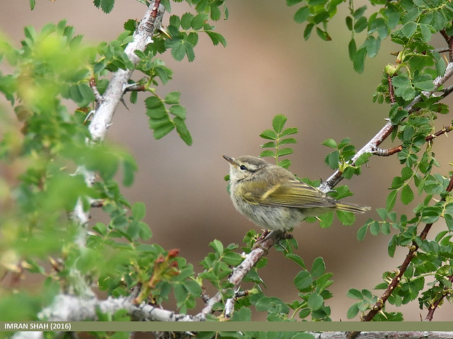 Hume's Warbler (Phylloscopus humei)