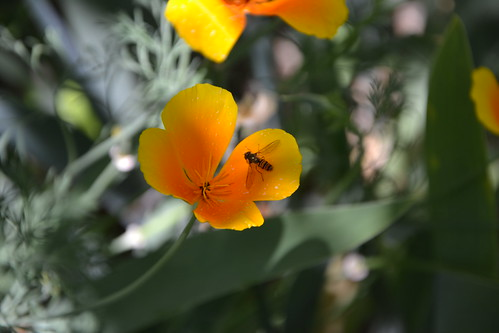 Eschscholzia californica - pavot de Californie 32706068860_f2b1482cec