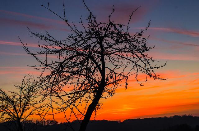 Kahler Apfelbaum im Abendrot