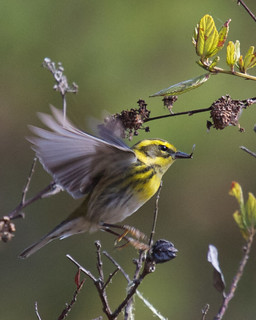 Townsend's Warbler | by Tom Clifton