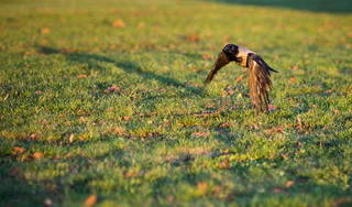 Common crow, flying low, casting a weird, long shadow | by neekoh.fi