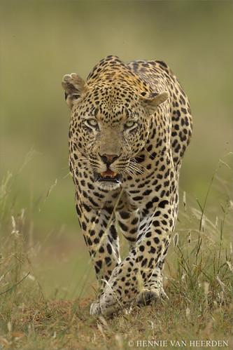 The Airstrip Male - leopard of Mala Mala