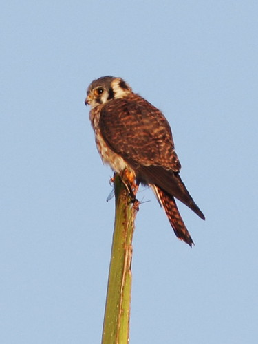 American Kestrel female 2-20140301
