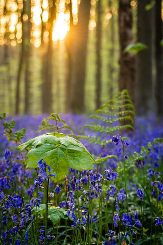 Hallerbos | by Robert Delpeut