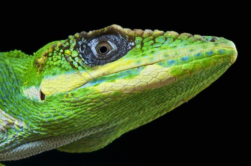 green animal yellow fauna mouth island dragon dino dinosaur bright florida head wildlife cuba large carribean lizard scales tropical anole predator cuban endemic lizards isa scaled coldblooded anolis anolisequestris introduced arboreal knightanole reptiles4all matthijskuijpers