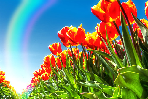 Tulips And The Rainbow
