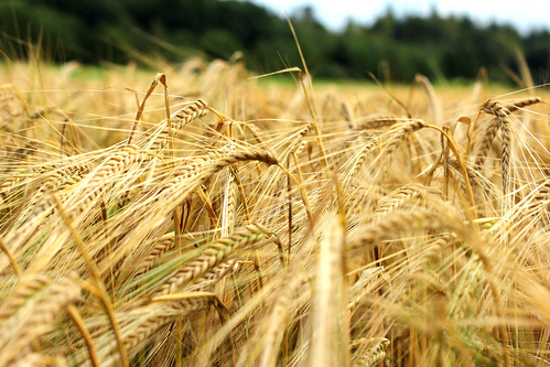 Barley / Gerste I | by manoftaste.de