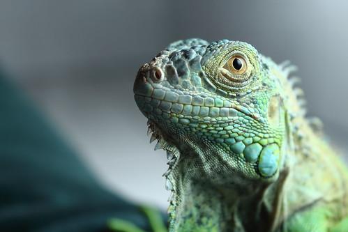 iguana | by .tafo.
