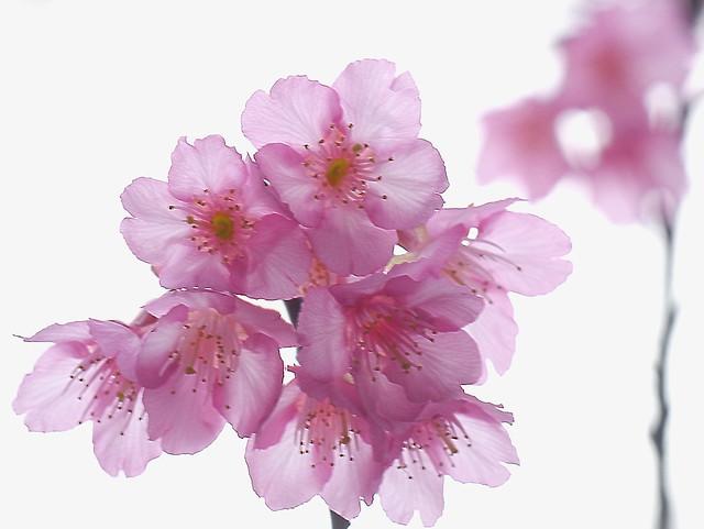 搶拍搶開的山櫻花 Prunus campanulata Maxim.