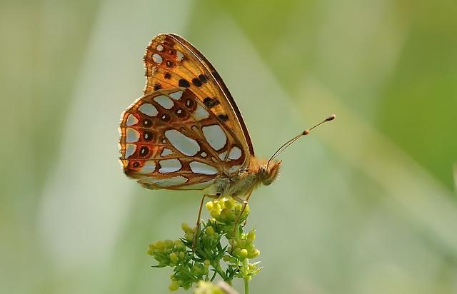 Queen of Spain Fritillary  (Issoria lathonia)
