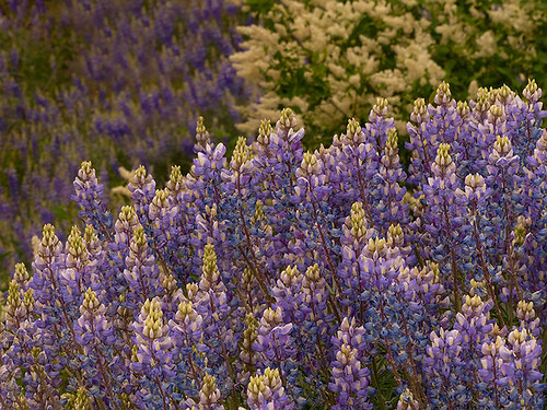 Foresta Lupine | by Kahlee Spiritdancing