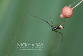 Comb Footed Spider (cf. Argyrodes sp.) - DSC_1853