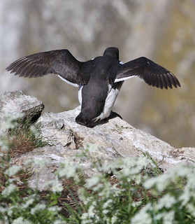 Guillemot ready for take off | by Wild Chroma