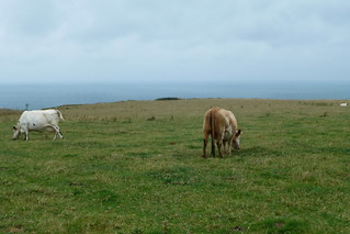 Bénouville, vaches au bord de la falaise   by Simenon.com