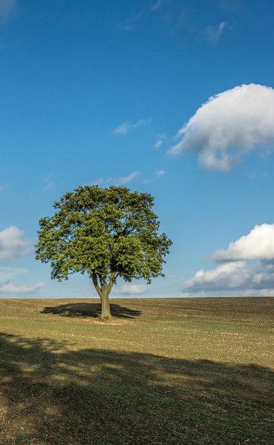 The lonely oak 3