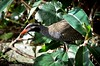 Okinawa Rail (Gallirallus okinawae) searching for food by Okinawa Nature Photography