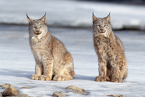 Wildlife in British Columbia, Canada: Canada Lynx / Canadian Lynx