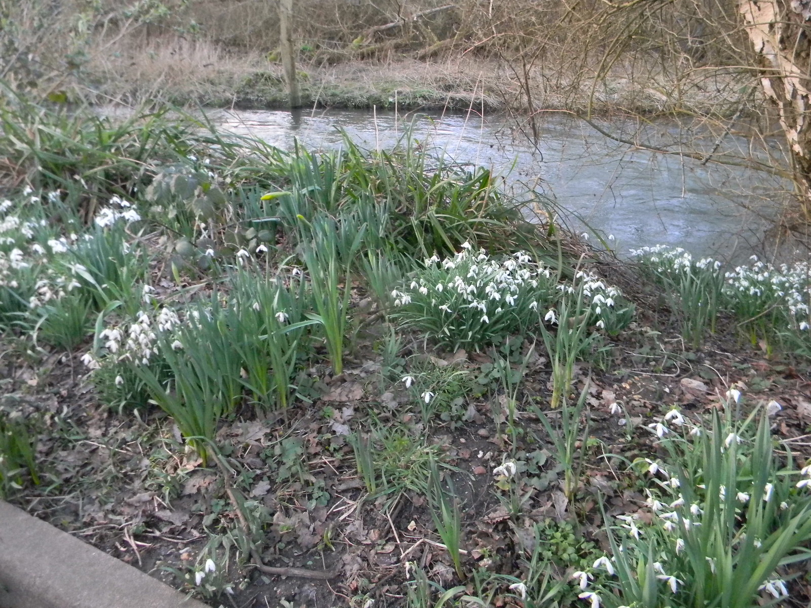 Snowdrops by the Wey Guildford to Farnham