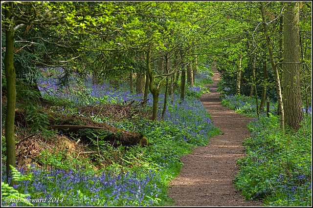 Bluebells at Chaddesley Woods