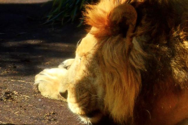 Male Asiatic Lion, Mohan of Ueno Zoo : 上野動物園のインドライオン♂