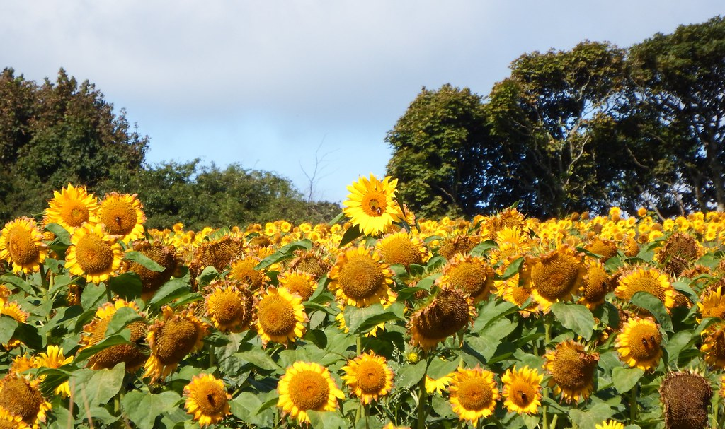 Sunflower Field Near Mabe Burnthouse 25/08/2013