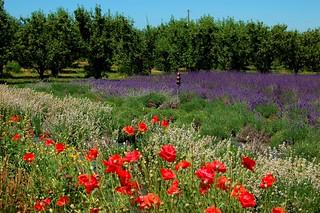Hood River Lavender Farm 2007