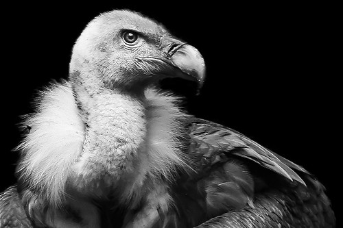 Vulture's portrait | by pattoise