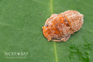 Leafhopper (Deltocephalinae) - DSC_3329