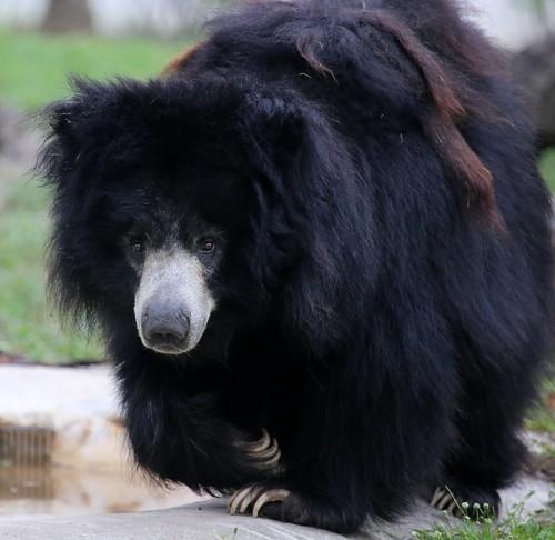 ASIATIC BLACK BEAR | by cuatrok77