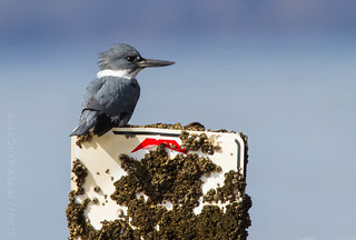 Belted Kingfisher | by Peter Bangayan