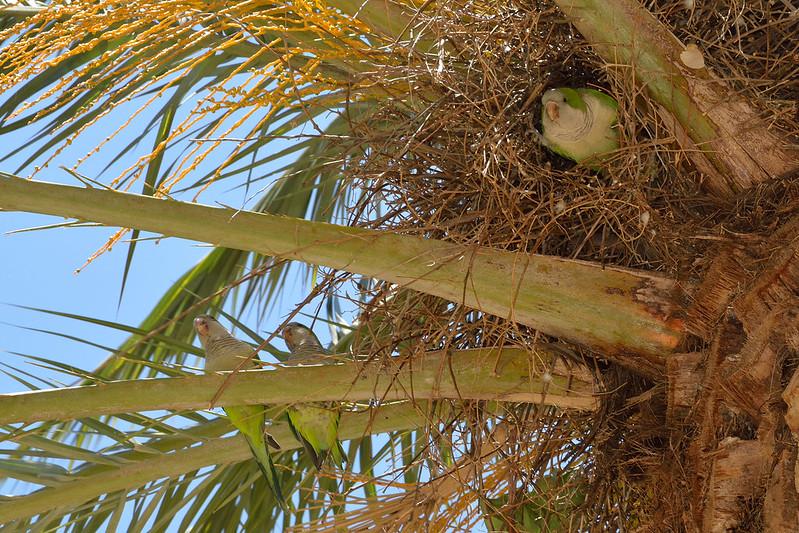 Monk Parakeet's Nest