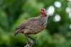 Swainson's Francolin by jjsmit