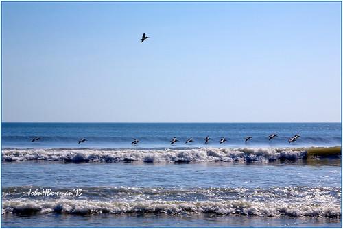 northcarolina currituckcounty outerbanks corolla oceans atlanticocean surf animals smallanimals birds pelicans april2013 april 2013 canon241054l