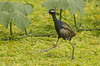 Bronze-winged Jacana by as_kannan