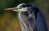 Great Blue Heron by jasbond007