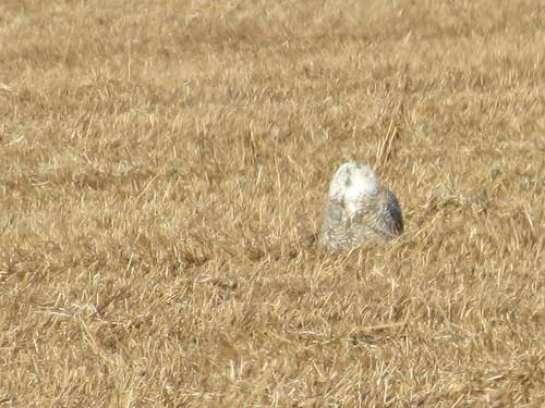 nature birds wildlife indiana owls snowyowl westvilleindiana speedyjr westvillein westvillecorrectionalcenter