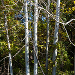 Birch trees at Avalon