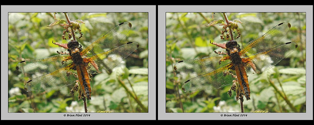 Scarce Chaser Dragonfly - 3d crossview