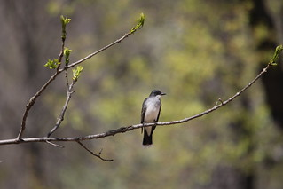 Eastern Kingbird | by Birding In New Jersey