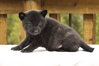 Ayui-Litter4-Day30-Puppy2-Female-c | by brada1878