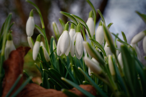 The Rise Of The Snowdrops