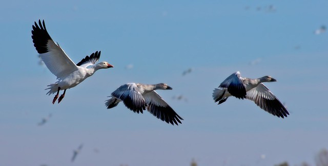 Oies  des neiges  --- Snow geese ---   Ganso blanco