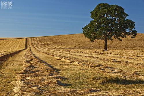 The Lonely Oak   by Ian Sane